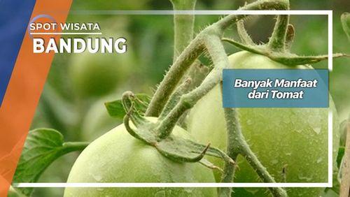 Manfaat Likopen dari Makan Tomat karena membantu tubuh memproduksi